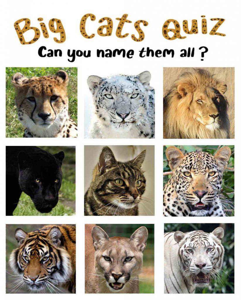 Big cats quiz