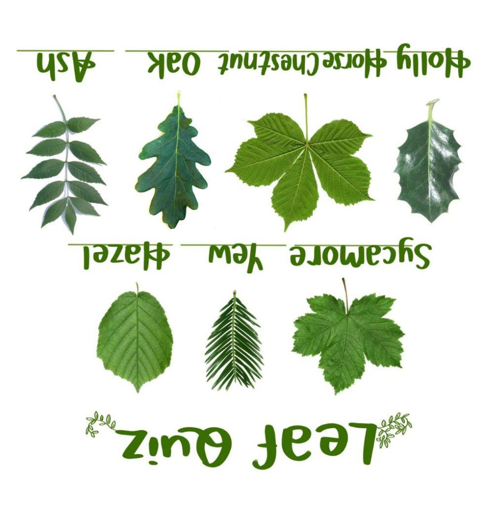 Leaf Quiz Answers
